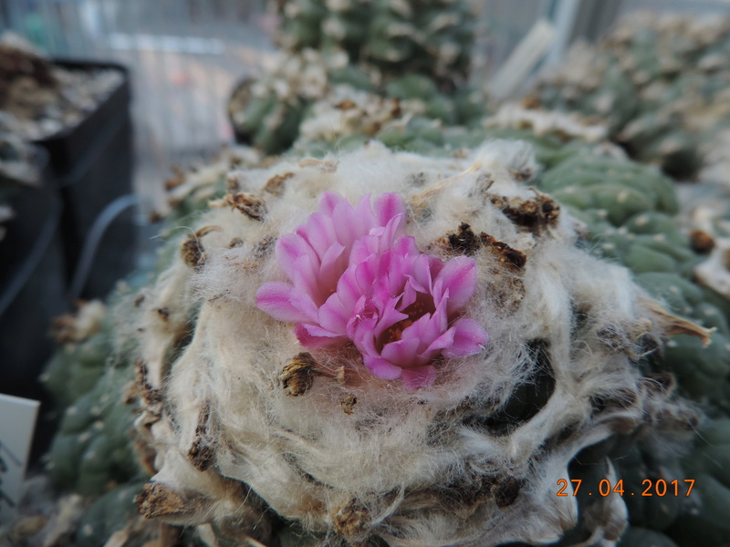 Cacti and Sukkulent in Köln, every day new flowers in the greenhouse Part 161 Bild_545