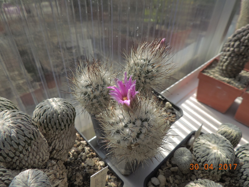 Cacti and Sukkulent in Köln, every day new flowers in the greenhouse Part 161 Bild_565