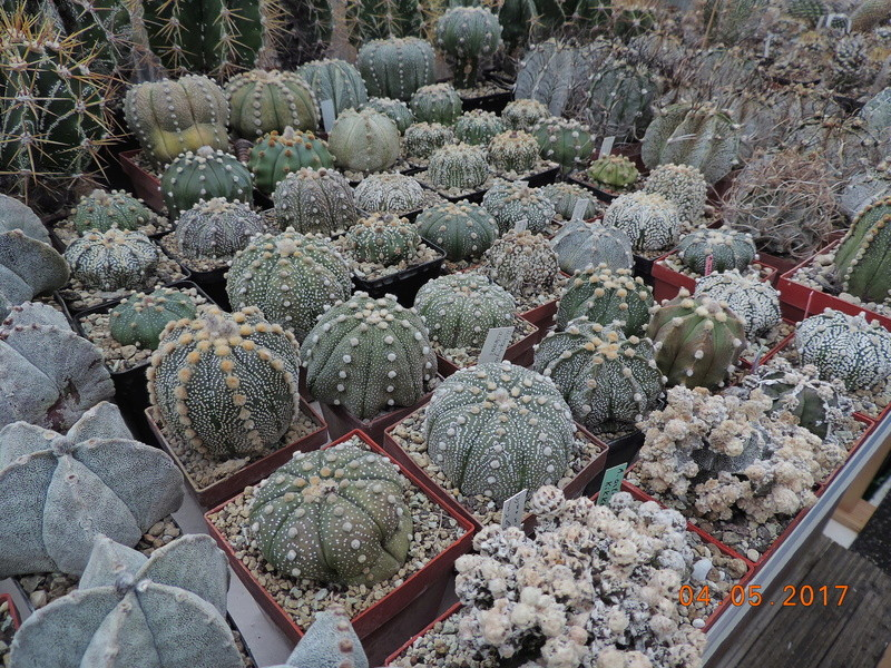 Cacti and Sukkulent in Köln, every day new flowers in the greenhouse Part 161 Bild_568