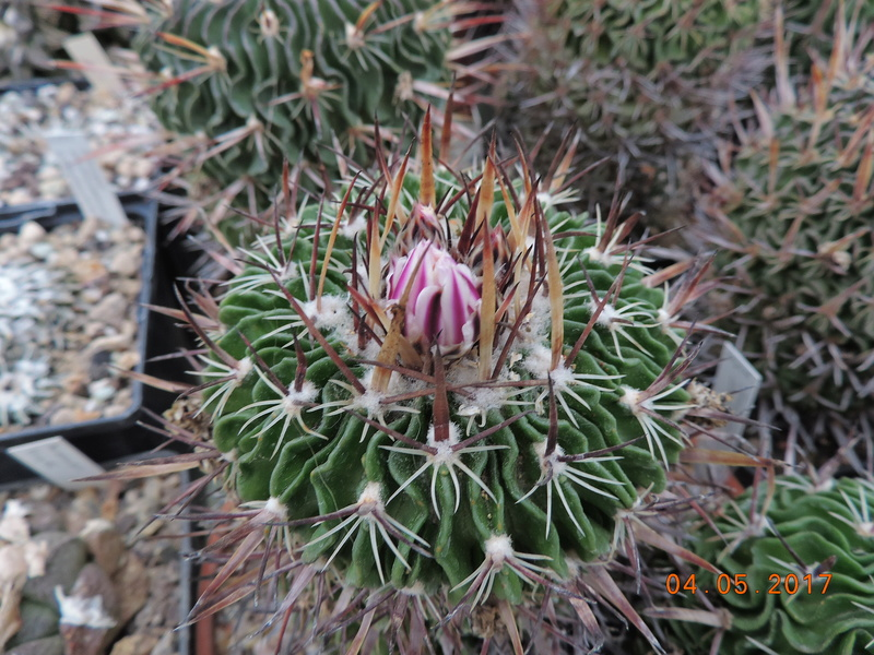 Cacti and Sukkulent in Köln, every day new flowers in the greenhouse Part 161 Bild_571