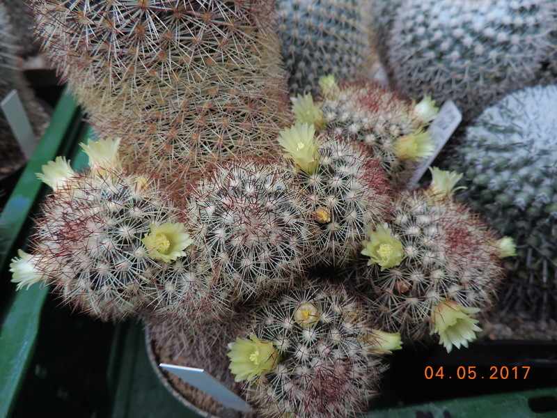 Cacti and Sukkulent in Köln, every day new flowers in the greenhouse Part 161 Bild_572