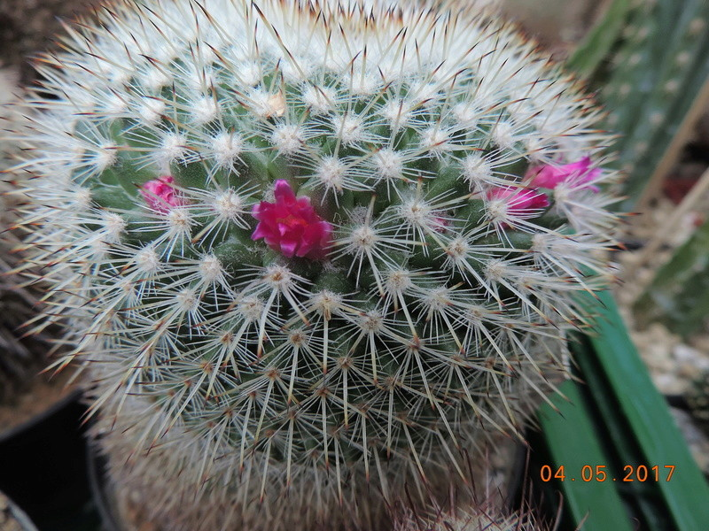 Cacti and Sukkulent in Köln, every day new flowers in the greenhouse Part 161 Bild_573