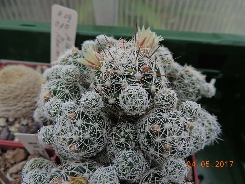 Cacti and Sukkulent in Köln, every day new flowers in the greenhouse Part 161 Bild_576