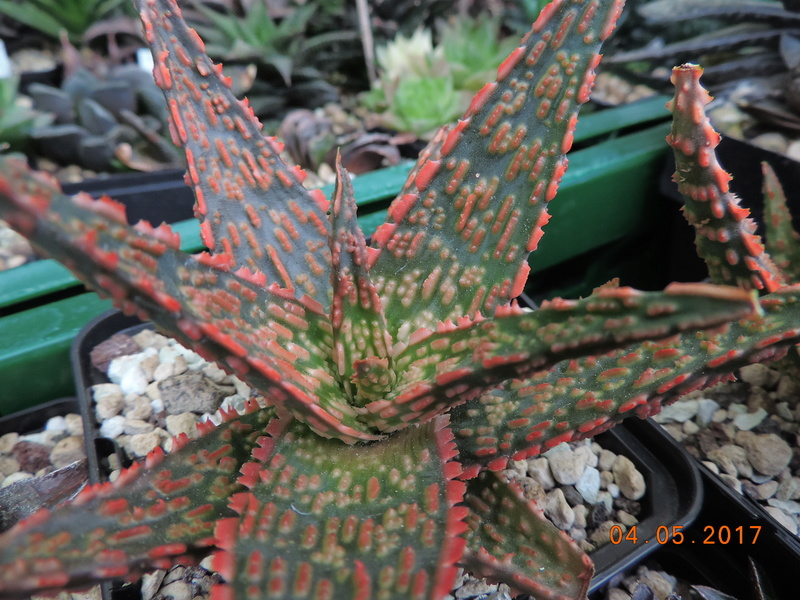 Cacti and Sukkulent in Köln, every day new flowers in the greenhouse Part 161 Bild_582