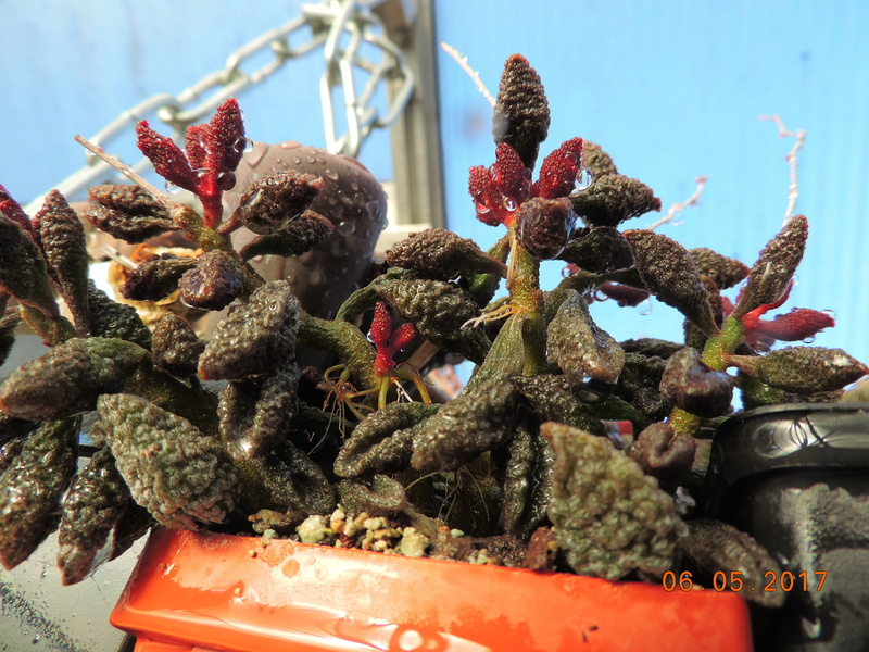 Cacti and Sukkulent in Köln, every day new flowers in the greenhouse Part 161 Bild_585