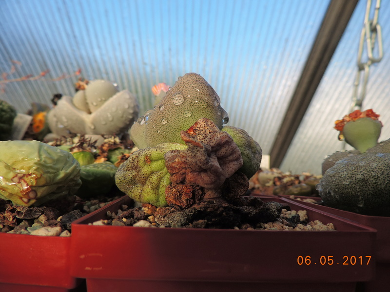 Cacti and Sukkulent in Köln, every day new flowers in the greenhouse Part 161 Bild_597
