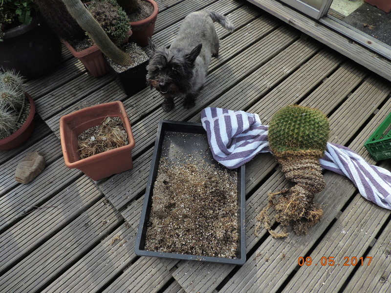 Cacti and Sukkulent in Köln, every day new flowers in the greenhouse Part 162 Bild_626
