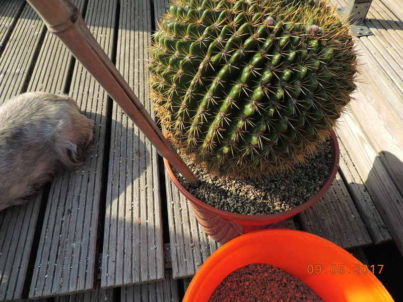 Cacti and Sukkulent in Köln, every day new flowers in the greenhouse Part 162 Bild_635