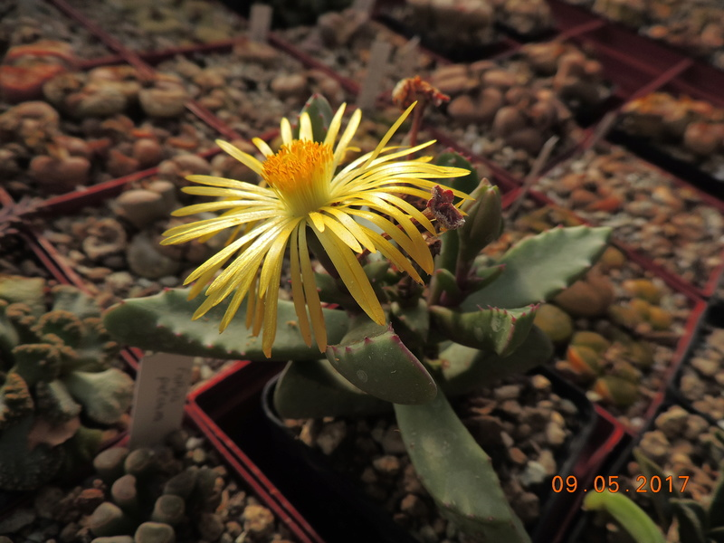 Cacti and Sukkulent in Köln, every day new flowers in the greenhouse Part 162 Bild_637