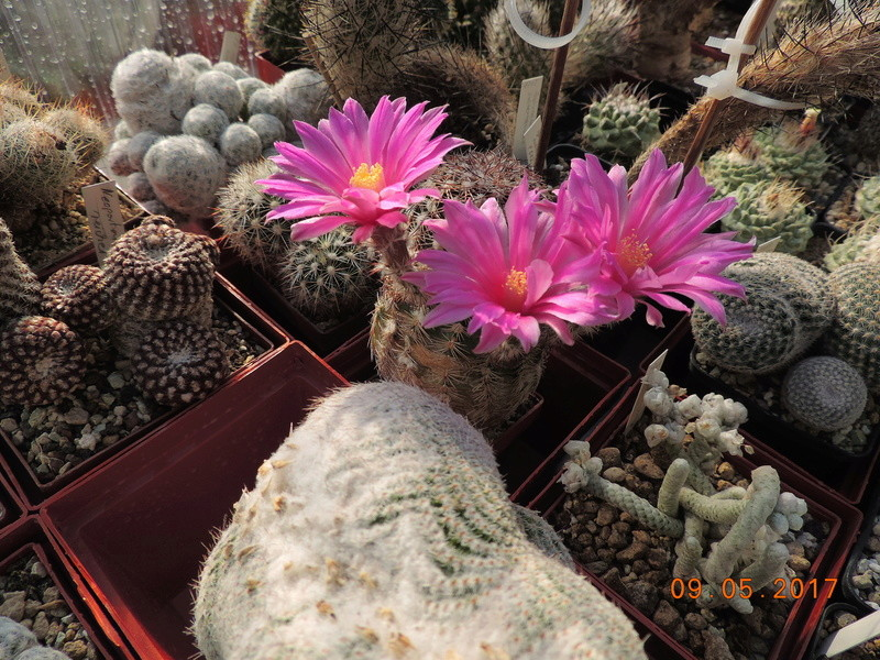 Cacti and Sukkulent in Köln, every day new flowers in the greenhouse Part 162 Bild_640