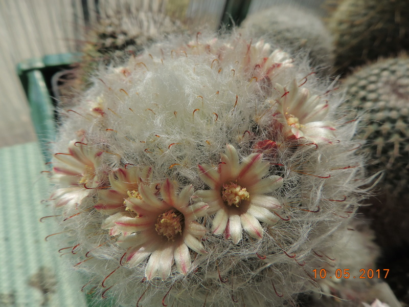 Cacti and Sukkulent in Köln, every day new flowers in the greenhouse Part 162 Bild_650