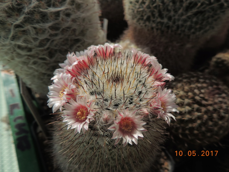 Cacti and Sukkulent in Köln, every day new flowers in the greenhouse Part 162 Bild_651