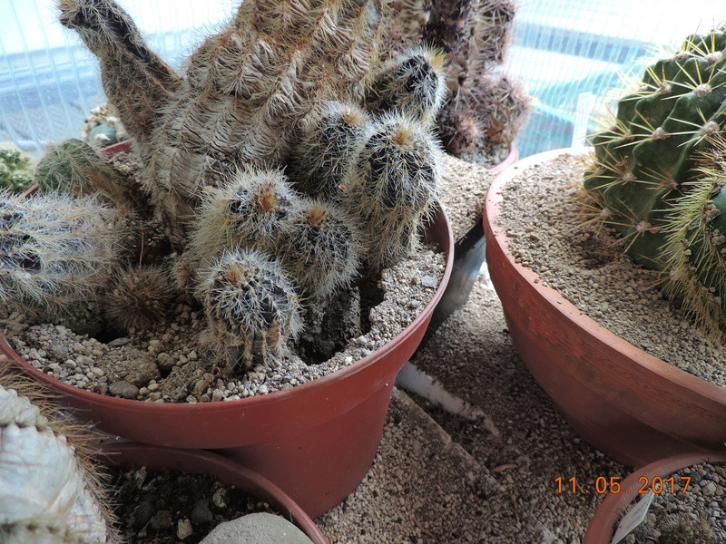 Cacti and Sukkulent in Köln, every day new flowers in the greenhouse Part 162 Bild_653