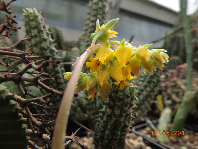 Cacti and Sukkulent in Köln, every day new flowers in the greenhouse Part 162 Bild_654