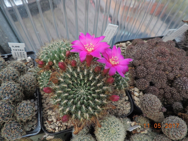 Cacti and Sukkulent in Köln, every day new flowers in the greenhouse Part 162 Bild_655