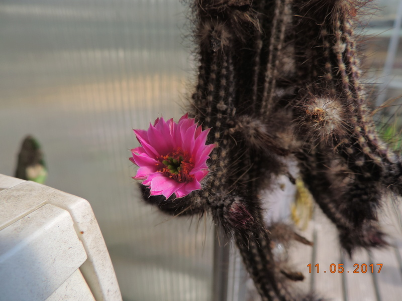 Cacti and Sukkulent in Köln, every day new flowers in the greenhouse Part 162 Bild_656