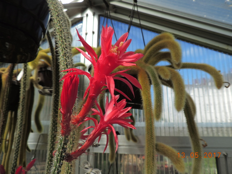 Cacti and Sukkulent in Köln, every day new flowers in the greenhouse Part 162 Bild_671