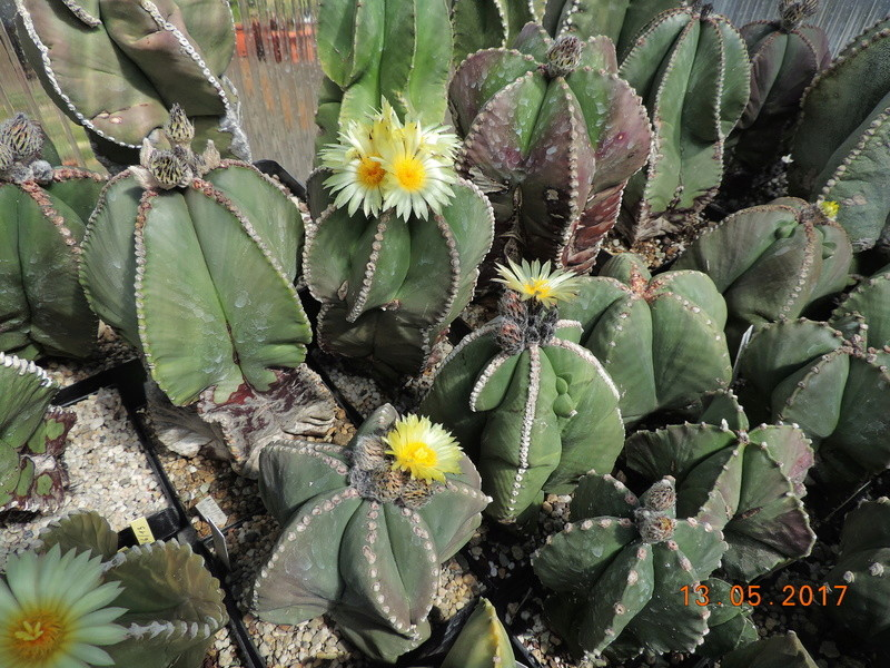 Cacti and Sukkulent in Köln, every day new flowers in the greenhouse Part 162 Bild_674