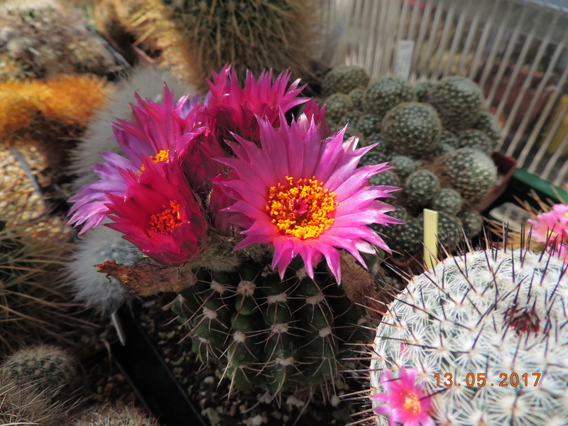 Cacti and Sukkulent in Köln, every day new flowers in the greenhouse Part 162 Bild_675