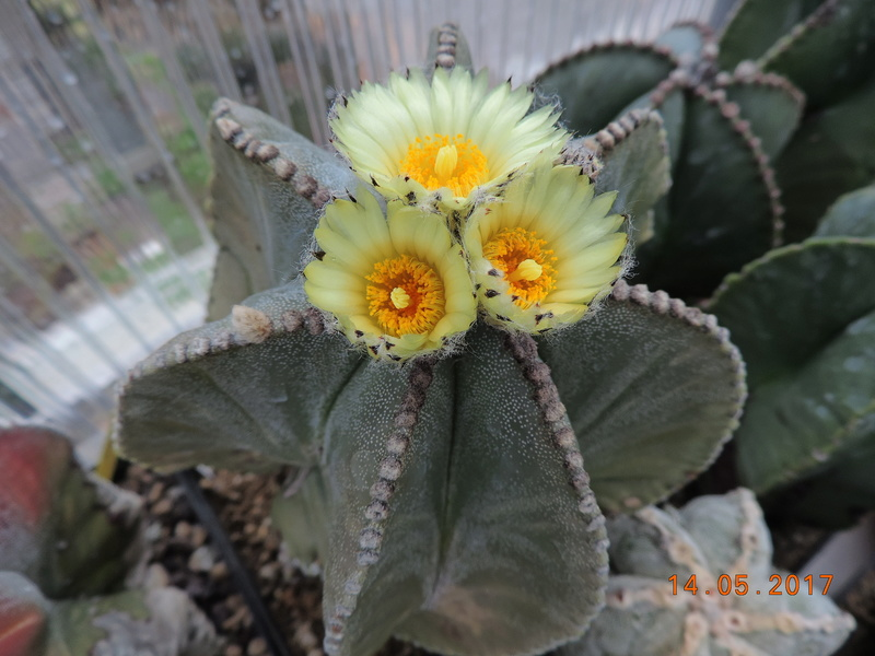 Cacti and Sukkulent in Köln, every day new flowers in the greenhouse Part 162 Bild_688
