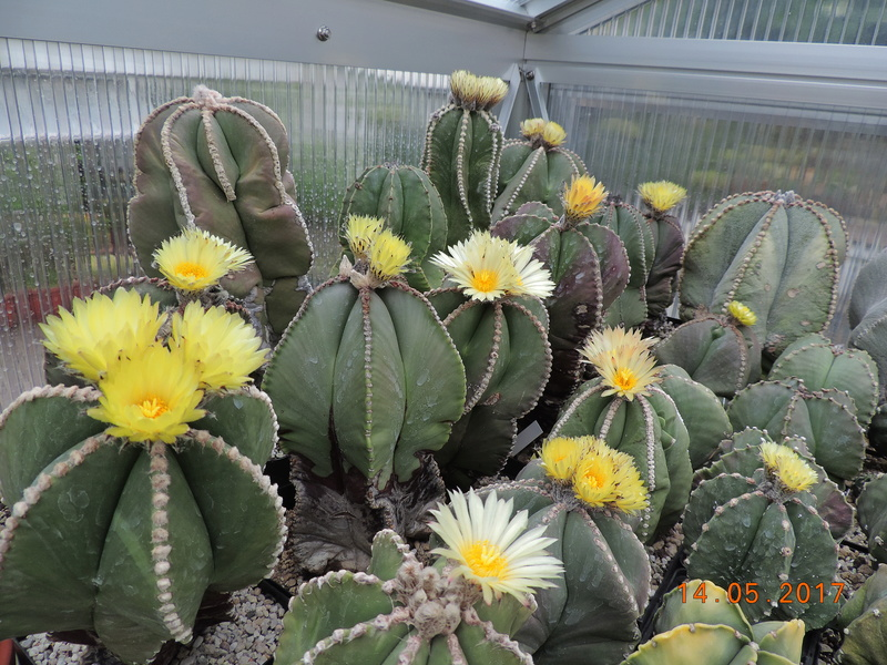 Cacti and Sukkulent in Köln, every day new flowers in the greenhouse Part 162 Bild_689