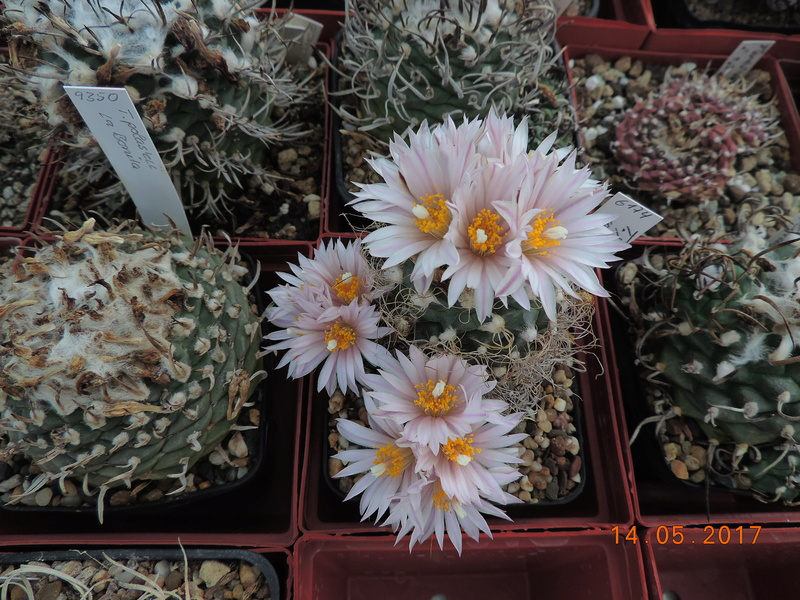Cacti and Sukkulent in Köln, every day new flowers in the greenhouse Part 162 Bild_691