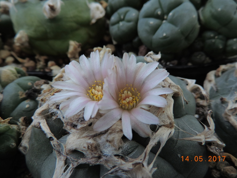 Cacti and Sukkulent in Köln, every day new flowers in the greenhouse Part 162 Bild_694