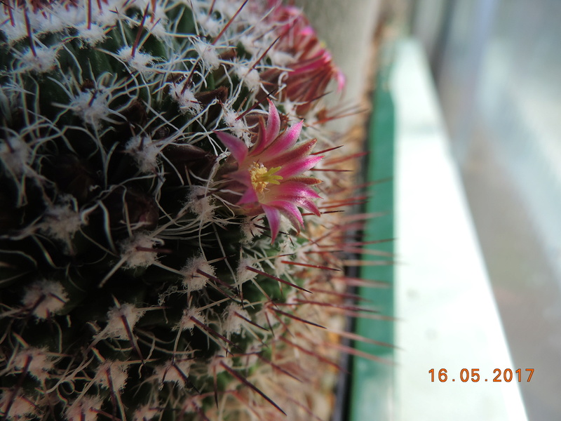 Cacti and Sukkulent in Köln, every day new flowers in the greenhouse Part 162 Bild_702