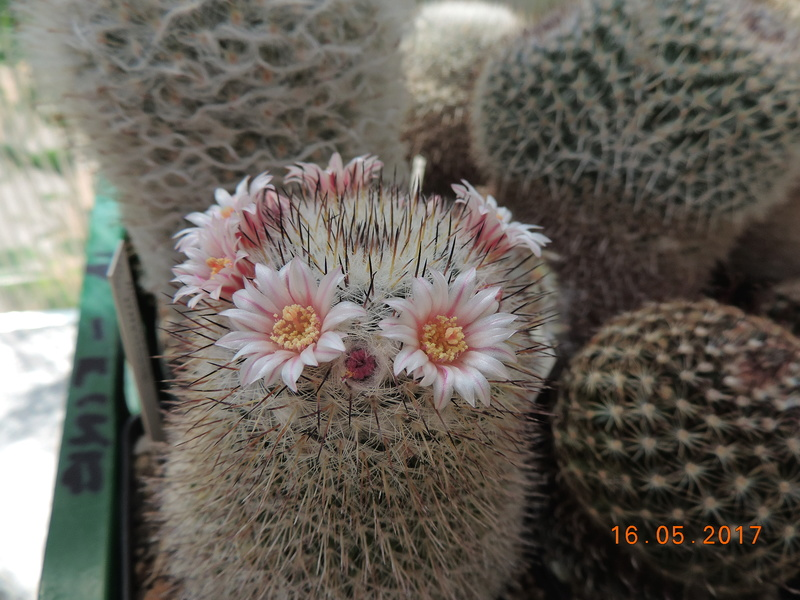 Cacti and Sukkulent in Köln, every day new flowers in the greenhouse Part 162 Bild_703