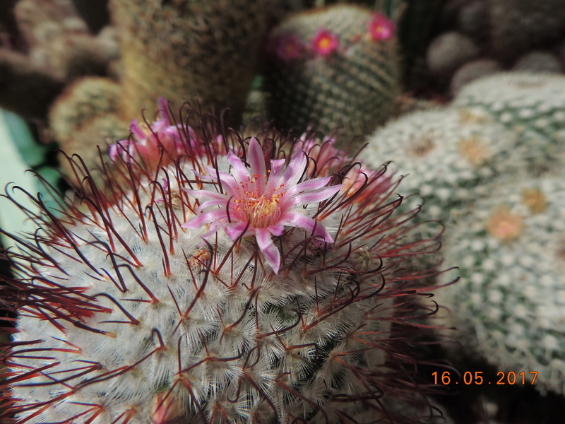 Cacti and Sukkulent in Köln, every day new flowers in the greenhouse Part 162 Bild_704