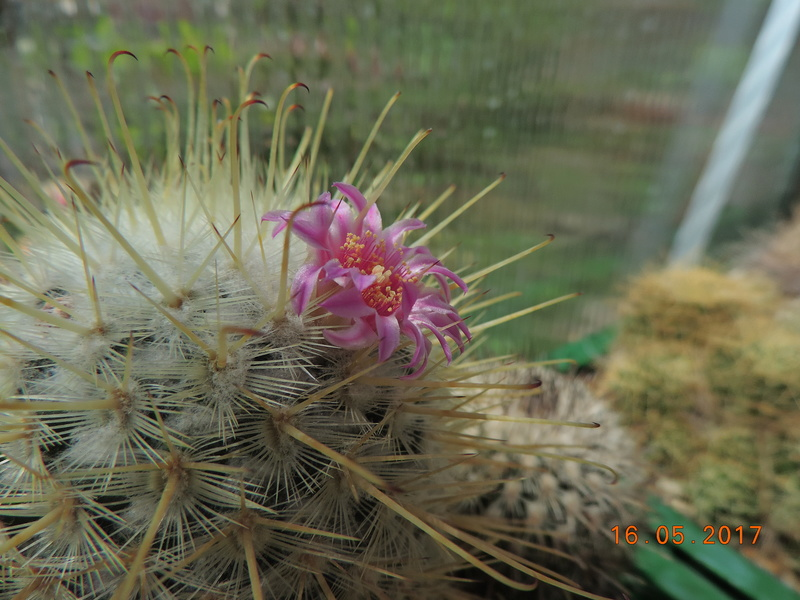 Cacti and Sukkulent in Köln, every day new flowers in the greenhouse Part 162 Bild_705