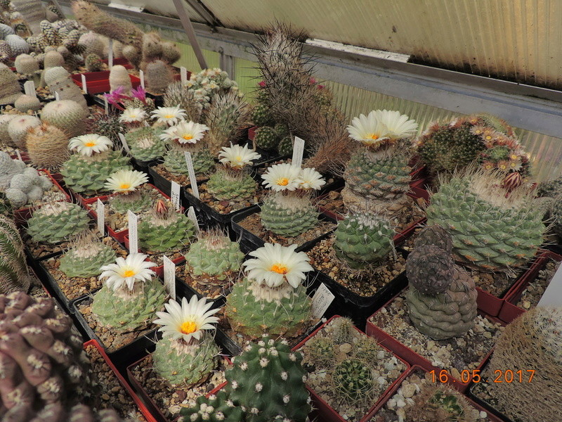 Cacti and Sukkulent in Köln, every day new flowers in the greenhouse Part 162 Bild_709