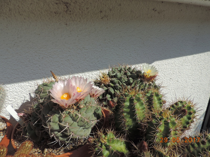 Cacti and Sukkulent in Köln, every day new flowers in the greenhouse Part 164 Bild_826