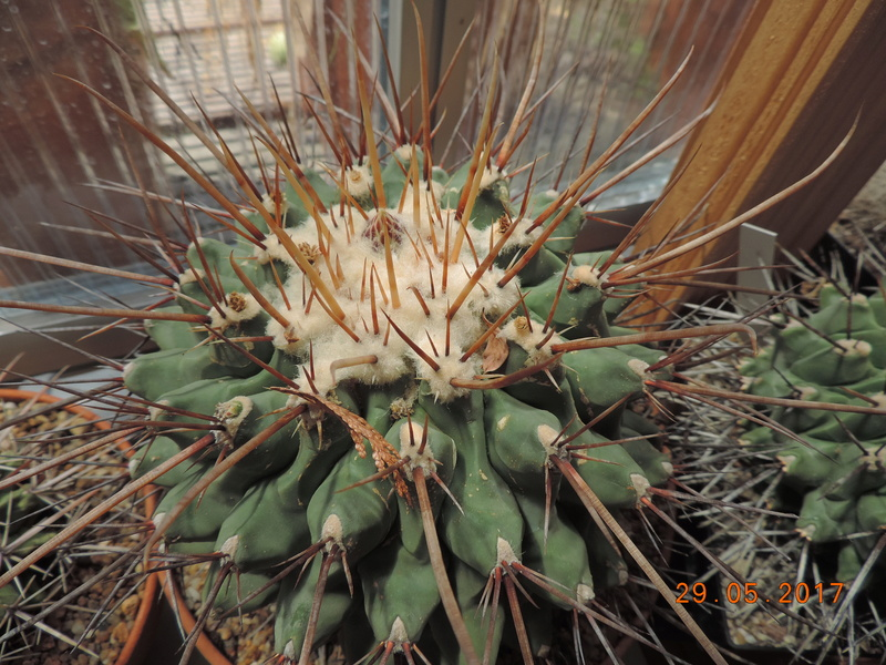 Cacti and Sukkulent in Köln, every day new flowers in the greenhouse Part 164 Bild_830