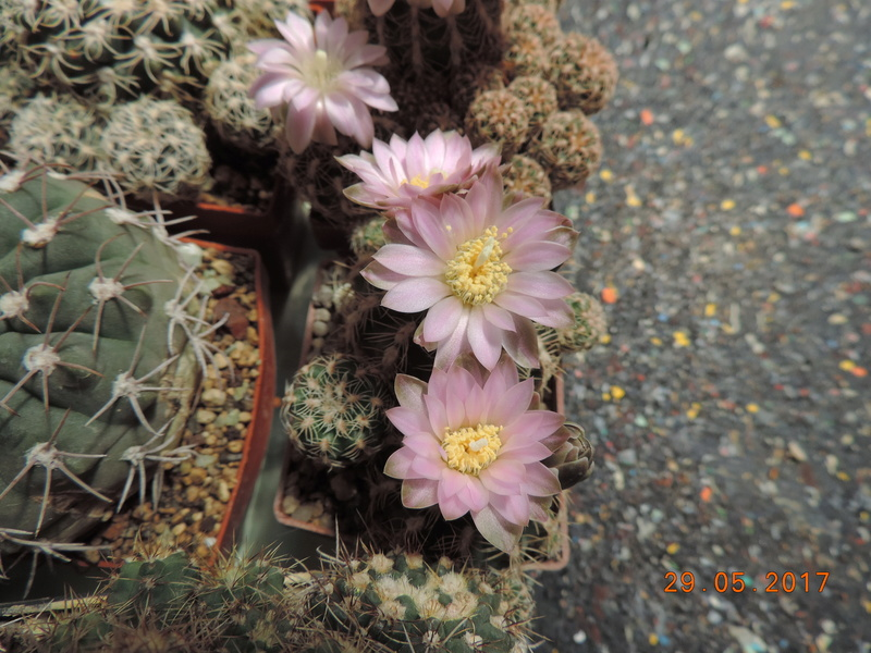 Cacti and Sukkulent in Köln, every day new flowers in the greenhouse Part 164 Bild_835