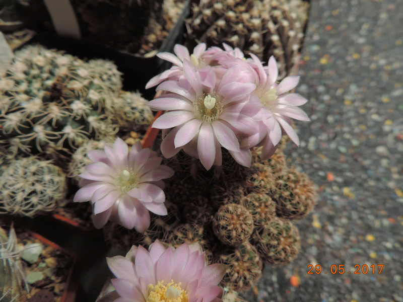 Cacti and Sukkulent in Köln, every day new flowers in the greenhouse Part 164 Bild_838