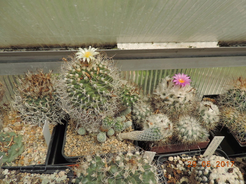 Cacti and Sukkulent in Köln, every day new flowers in the greenhouse Part 164 Bild_840