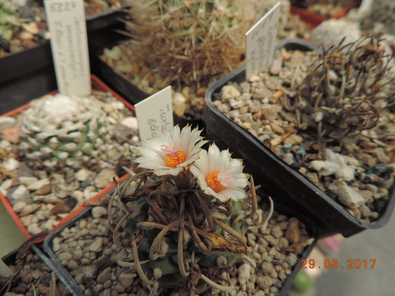 Cacti and Sukkulent in Köln, every day new flowers in the greenhouse Part 164 Bild_842