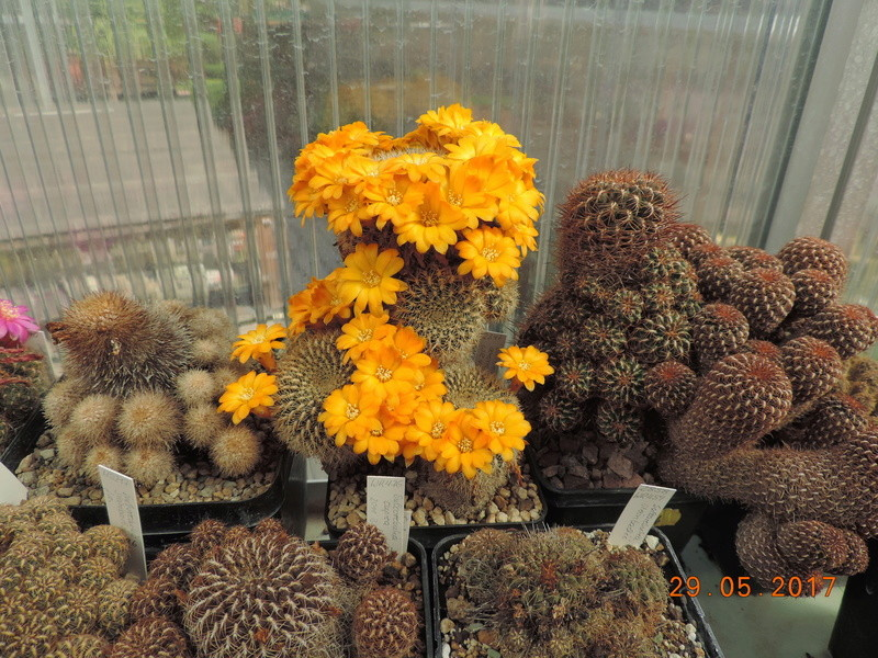 Cacti and Sukkulent in Köln, every day new flowers in the greenhouse Part 164 Bild_843