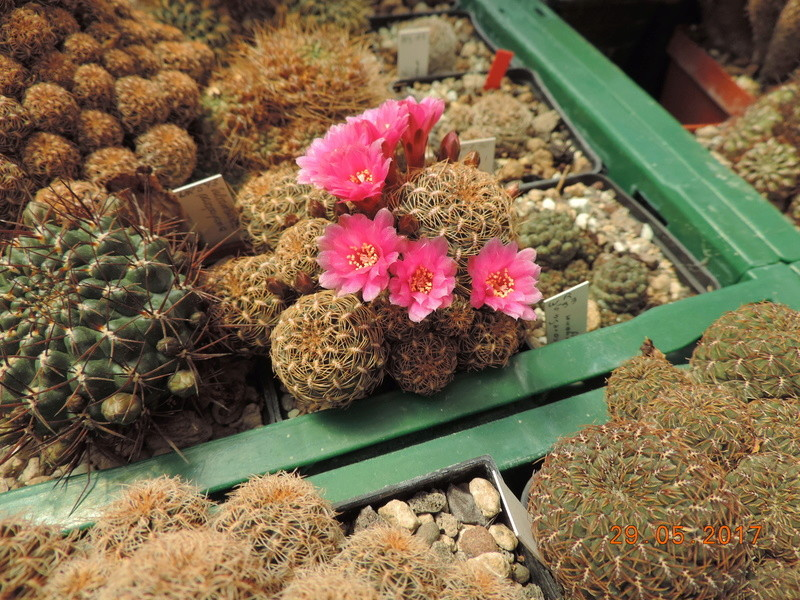 Cacti and Sukkulent in Köln, every day new flowers in the greenhouse Part 164 Bild_844