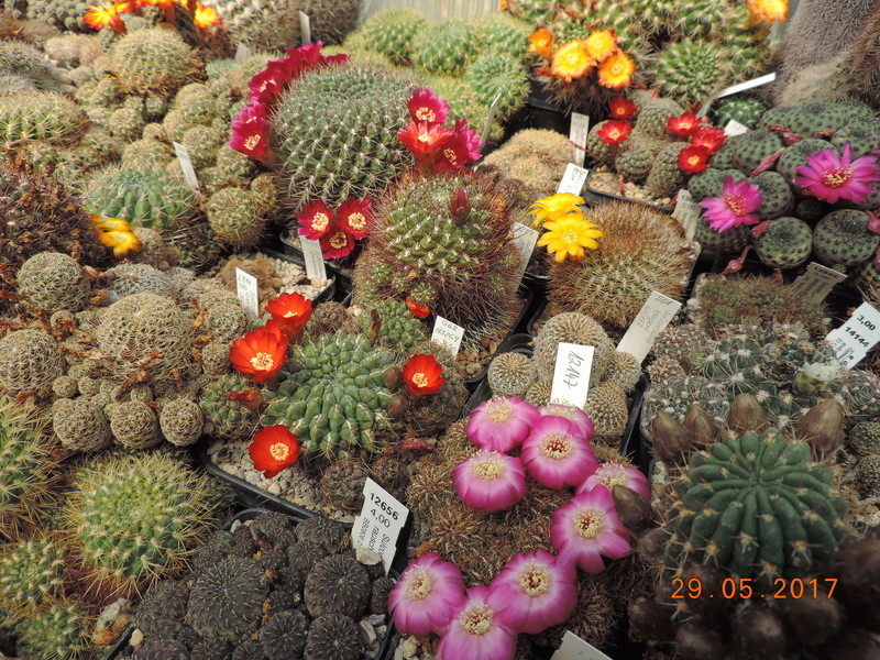 Cacti and Sukkulent in Köln, every day new flowers in the greenhouse Part 164 Bild_848