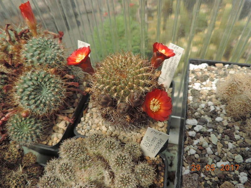 Cacti and Sukkulent in Köln, every day new flowers in the greenhouse Part 164 Bild_849