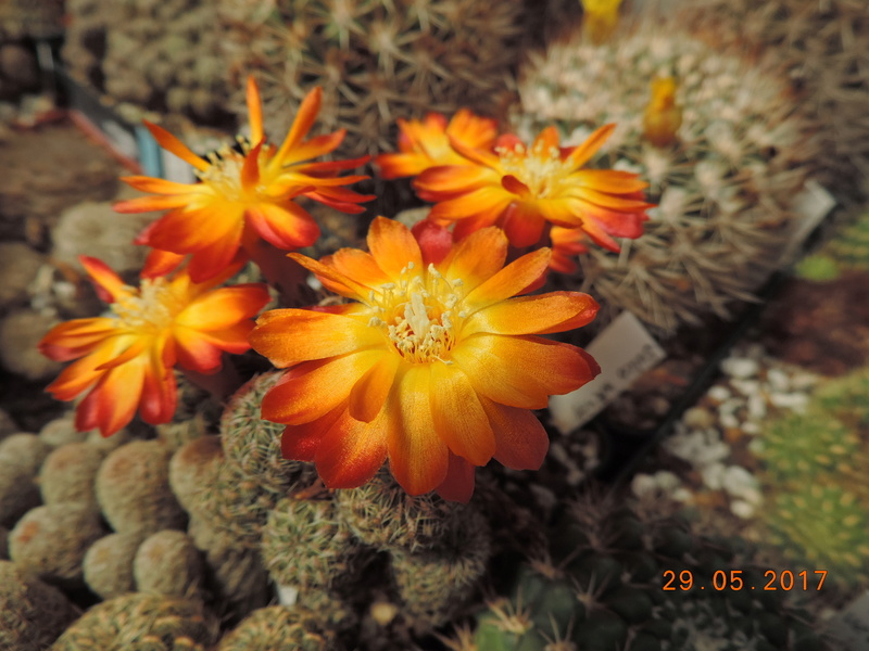 Cacti and Sukkulent in Köln, every day new flowers in the greenhouse Part 164 Bild_850