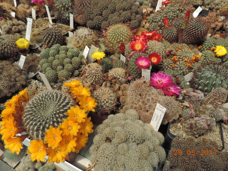 Cacti and Sukkulent in Köln, every day new flowers in the greenhouse Part 164 Bild_851
