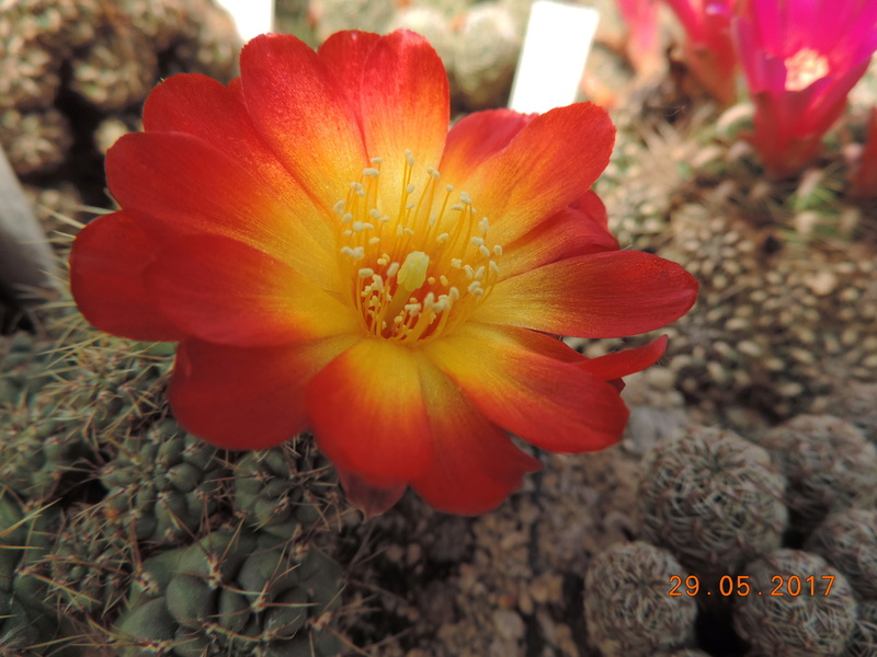 Cacti and Sukkulent in Köln, every day new flowers in the greenhouse Part 164 Bild_855