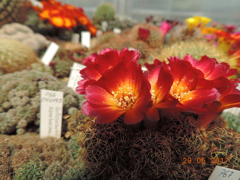 Cacti and Sukkulent in Köln, every day new flowers in the greenhouse Part 164 Bild_857