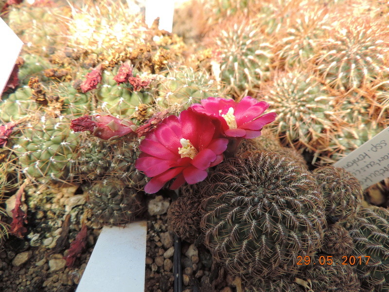 Cacti and Sukkulent in Köln, every day new flowers in the greenhouse Part 164 Bild_858