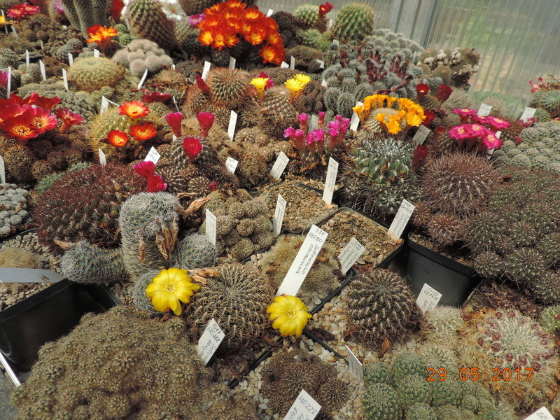 Cacti and Sukkulent in Köln, every day new flowers in the greenhouse Part 164 Bild_859