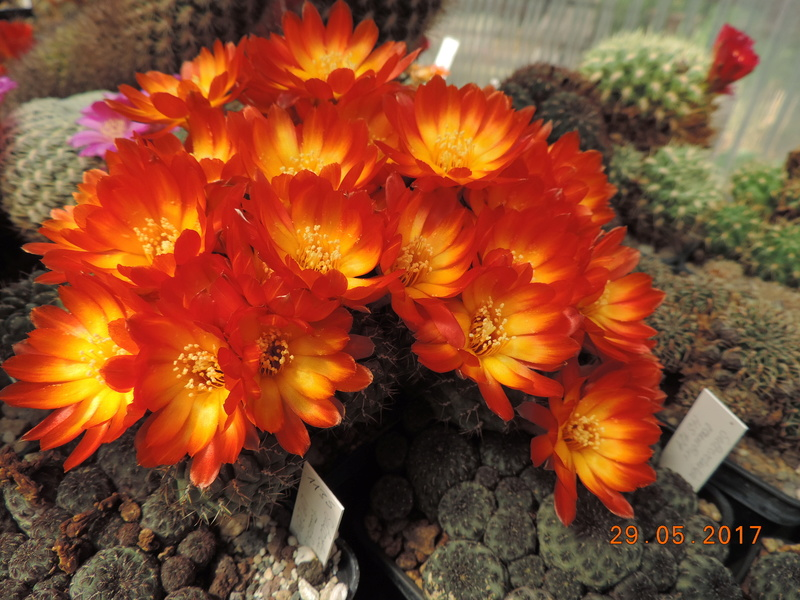 Cacti and Sukkulent in Köln, every day new flowers in the greenhouse Part 164 Bild_860