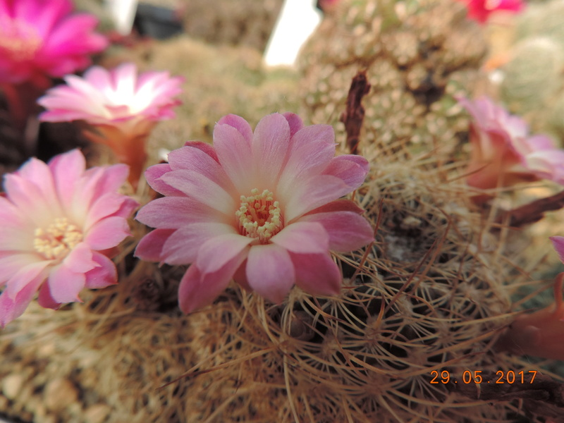 Cacti and Sukkulent in Köln, every day new flowers in the greenhouse Part 164 Bild_861